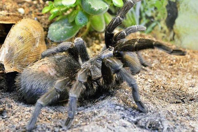 Warum sind Spinnen und Echsen als Haustiere so beliebt?