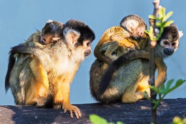 Putziger Nachwuchs: Vier junge Totenkopfäffchen im Zoo Basel