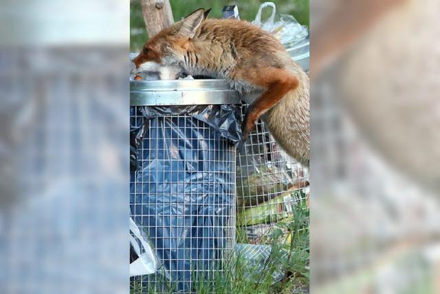 Seit Tagen schleicht ein Fuchs durch Wehr - was tun mit Wildtieren im Garten?