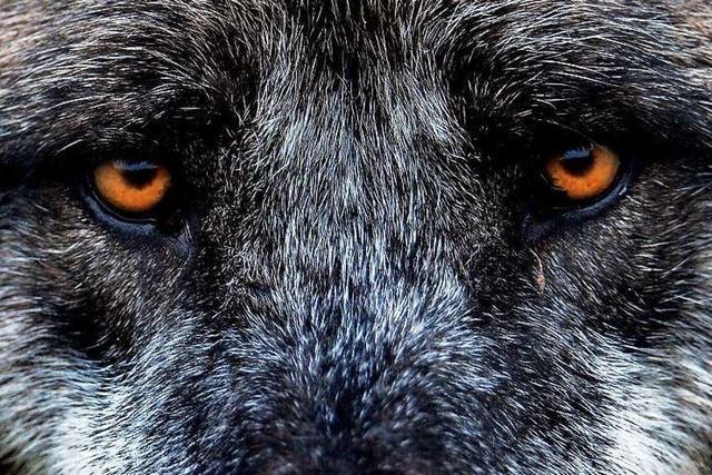 Totes Tier bei Lahr: Ist der Wolf nach 150 Jahren zurück im Südwesten?