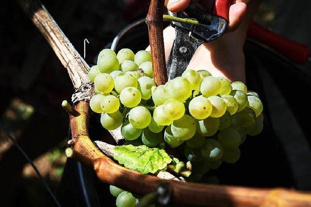 Badischer Winzerkeller zieht Bilanz: Mehr Geld für Trauben