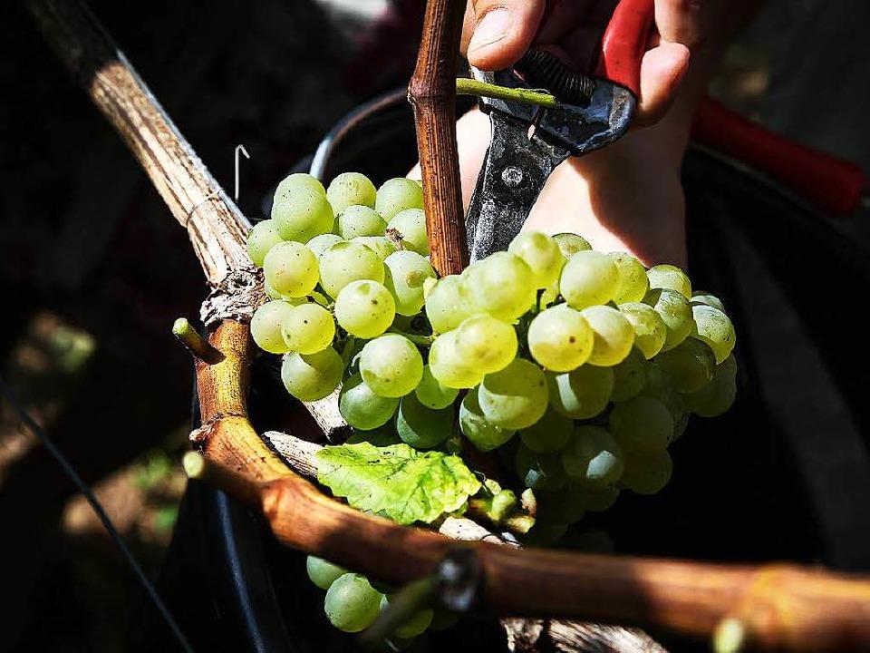 Vor dem Wein kommt die Weinlese.  | Foto: dpa