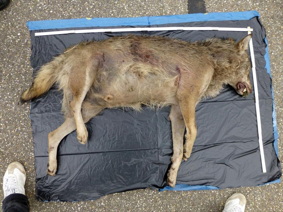 Handelt es sich bei diesem toten Tier bei Lahr...  | Foto: dpa