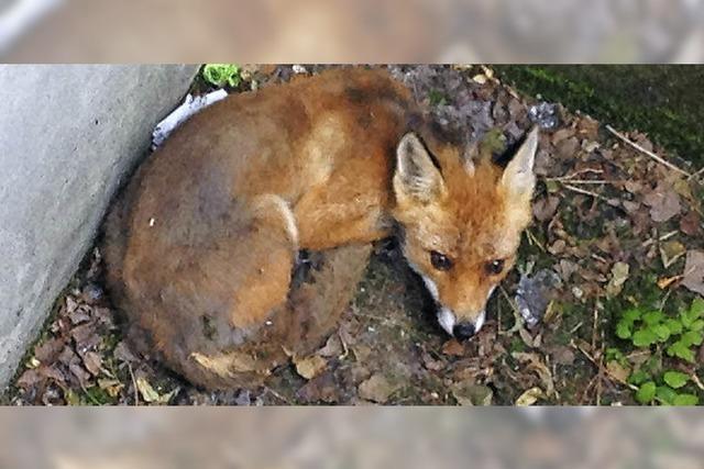 Lichtschacht wird für Fuchs zur Falle