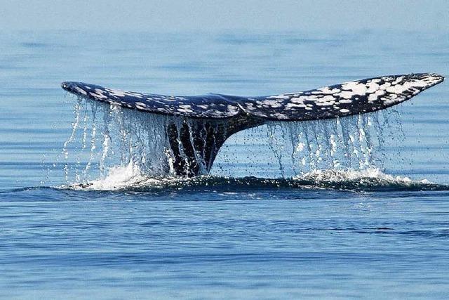 Island geht wieder auf Walfang – umstrittene Tradition