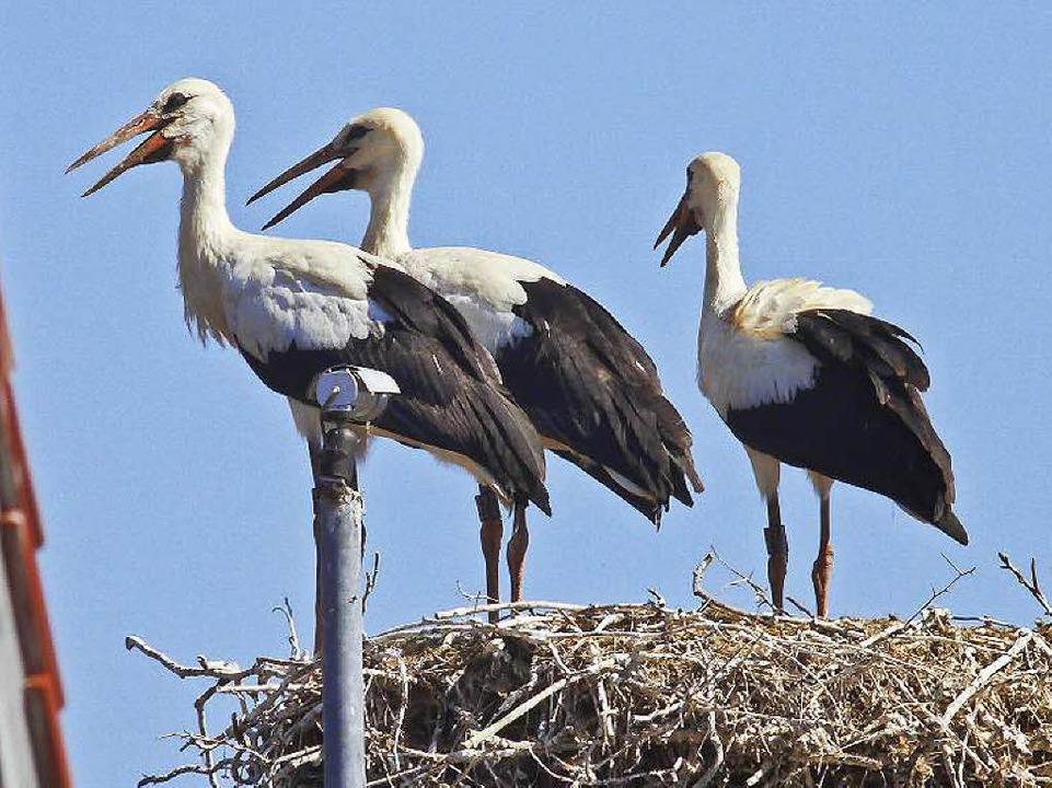 Nur noch drei Jungstörche befinden sic...Nest, nach dem vierten wird gefahndet.  | Foto: Wolfgang Hoffmann