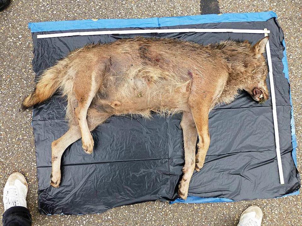Bei dem toten Tier, das bei Lahr gefun...elt es sich tatsächlich um einen Wolf.    Foto: dpa