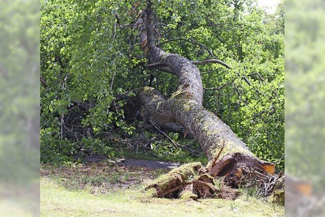 Gefallener Baum entsorgt