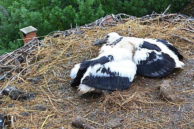 Freude über Storchenfamilie in Müllheim