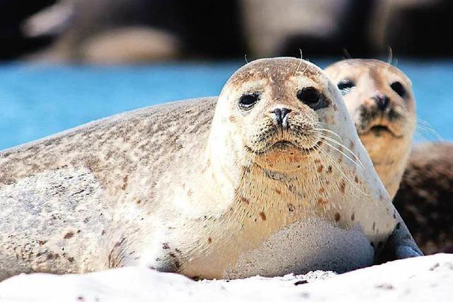 Heuler an der Nordsee: Nur gucken - nicht anfassen