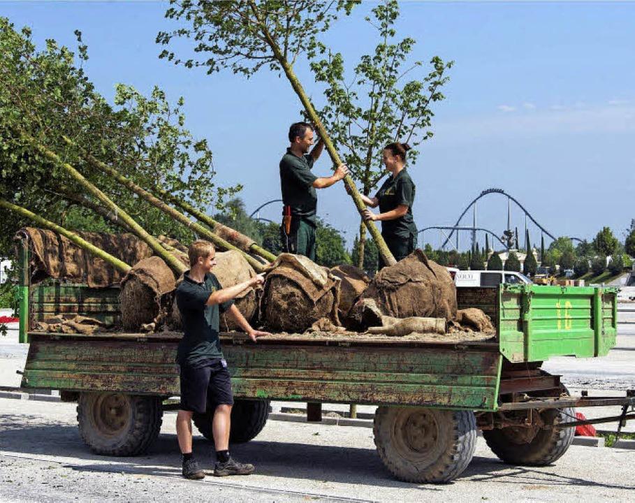 Parkmitarbeiter pflanzen die Feldahorne.     Foto: Park
