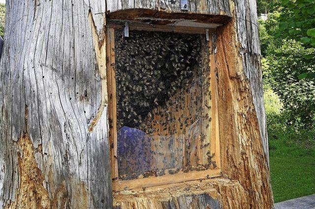 25 Kilogramm Honig in weniger als einem Monat gesammelt