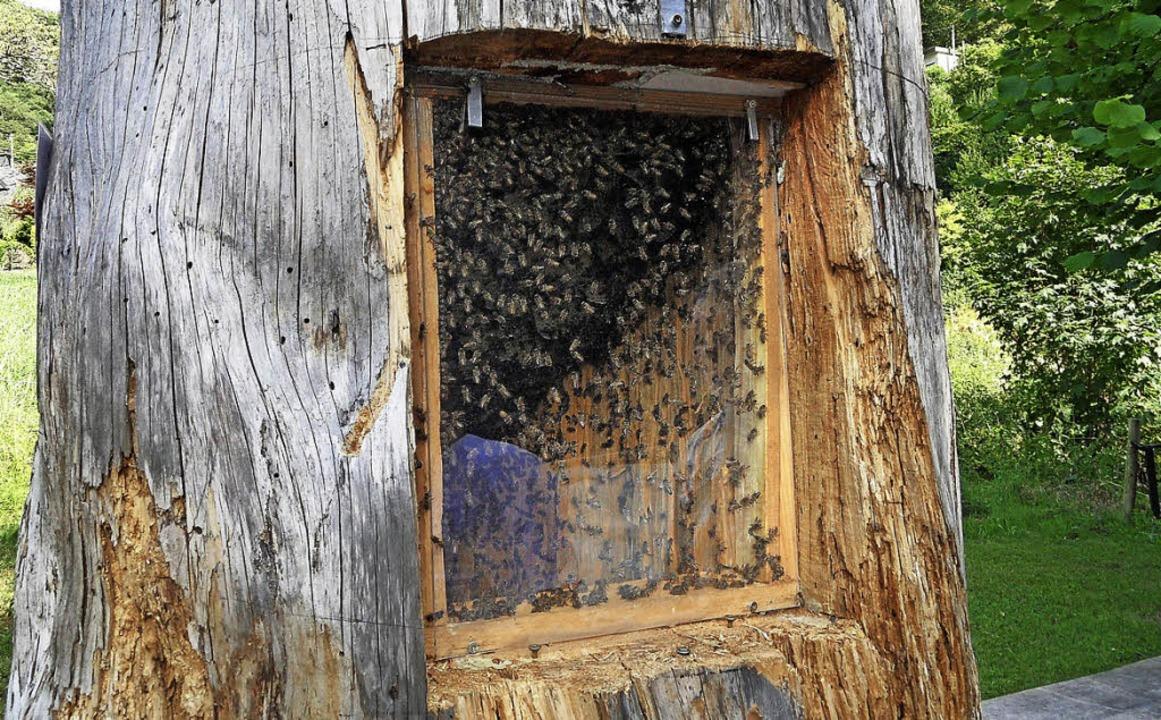 Bienen besiedeln  einem hohlen Baum.   | Foto: Josef Faller