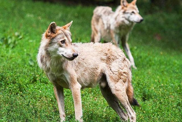 Wolf-Fachmann: