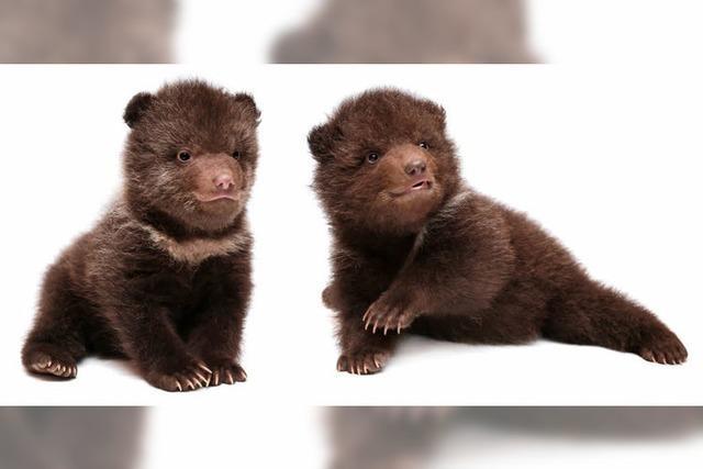 Wildhüter lässt Bärenbabys leben – und wird gefeuert
