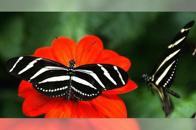 Schmetterlinge: Der Code ihrer Farben