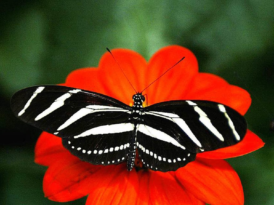 Ein Zebrafalter der Gattung Heliconius  | Foto: dpa/afp (2)