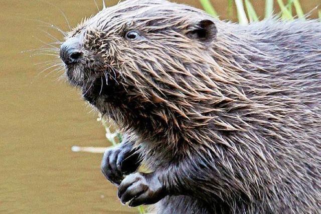 Biber beißt Hund am Rhein – Tiere stehen unter Stress