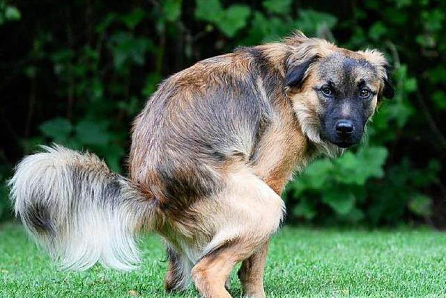 Ettenheim hat Ärger mit Hundekot – Tretminen am Wegesrand