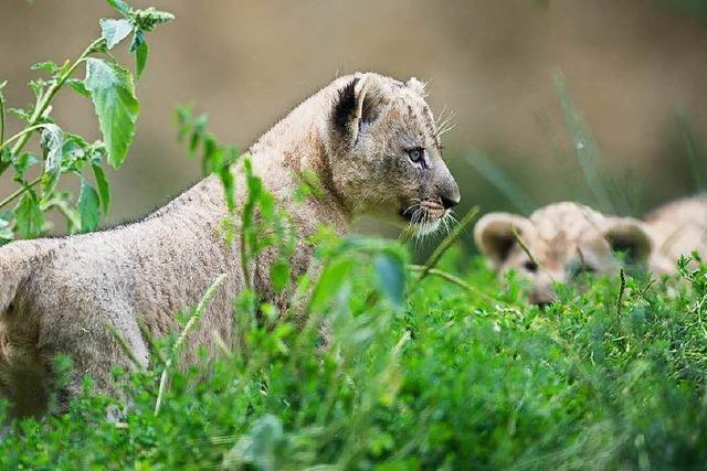 Dreifacher Löwennachwuchs im Zoo Basel