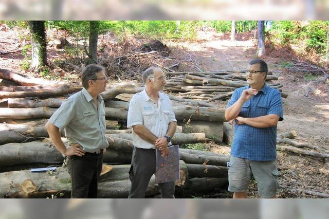 In Kenzingens Wäldern hat die Esche keine Zukunft mehr