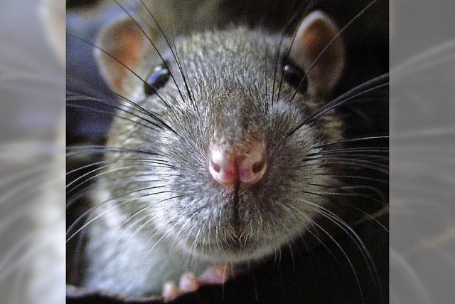 22 Ratten einfach in der Wohnung zurückgelassen