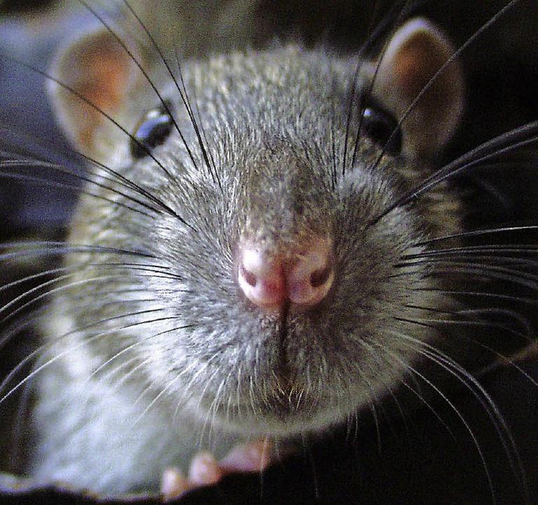 22 Ratten Einfach In Der Wohnung Zur 252 Ckgelassen Weil Am