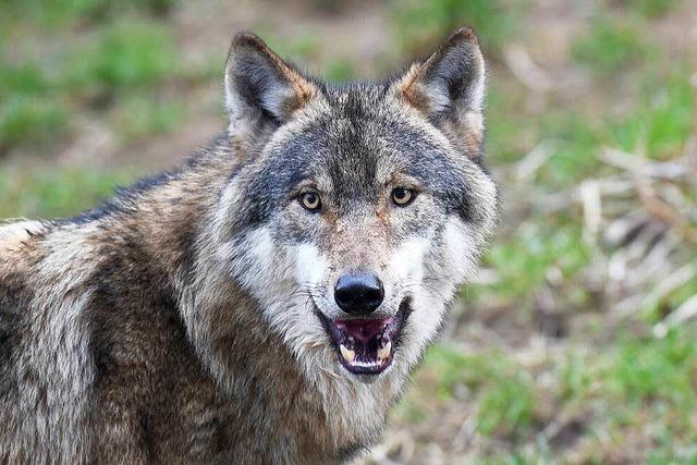 Der Wolf ist zurück! Was nun?