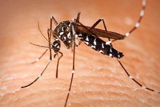 Die Tigermücke setzt sich in Südbaden fest