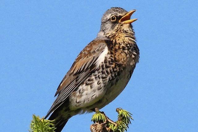 Vogelwanderung im Feldberggebiet