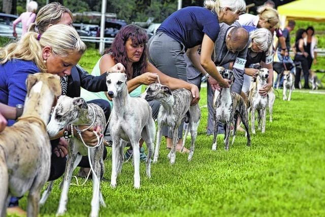 Windhundfestival wird immer größer
