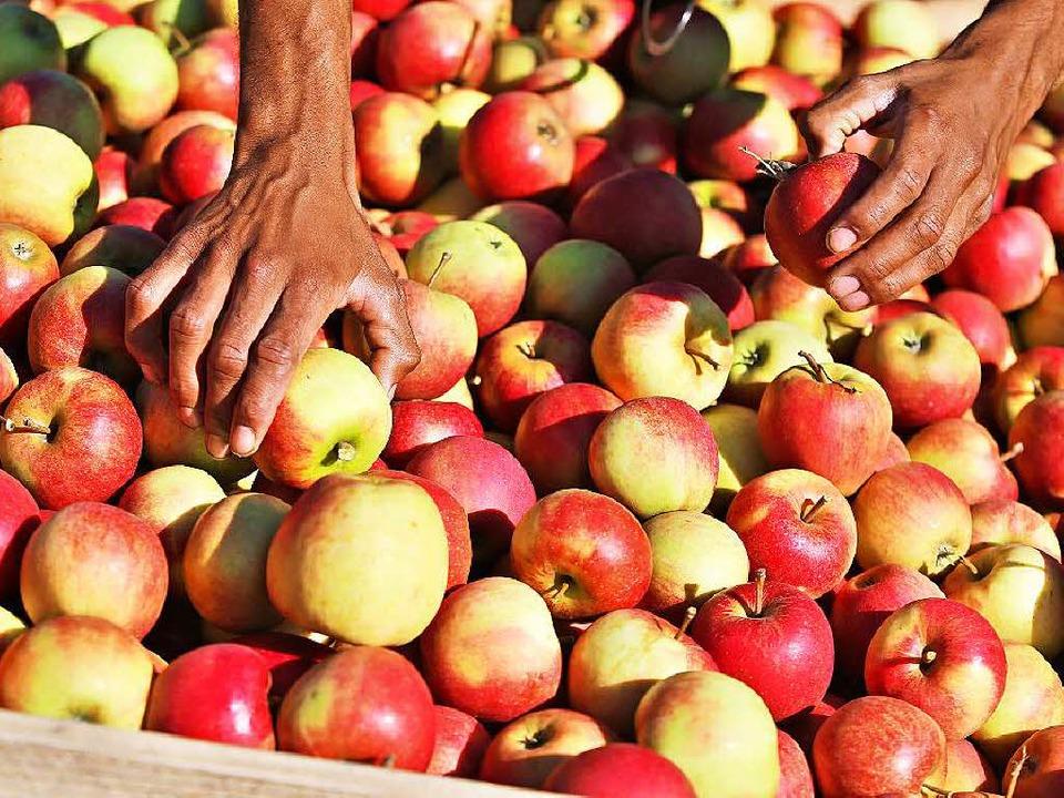 Handelsbeschränkung: Russen  müssen zu...oßkalibrige Äpfel aus Baden verzichten  | Foto: dpa