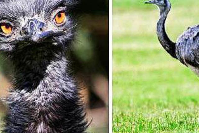 Unbekannte stehlen einen Emu und einen Nandu – und deren 20 Eier