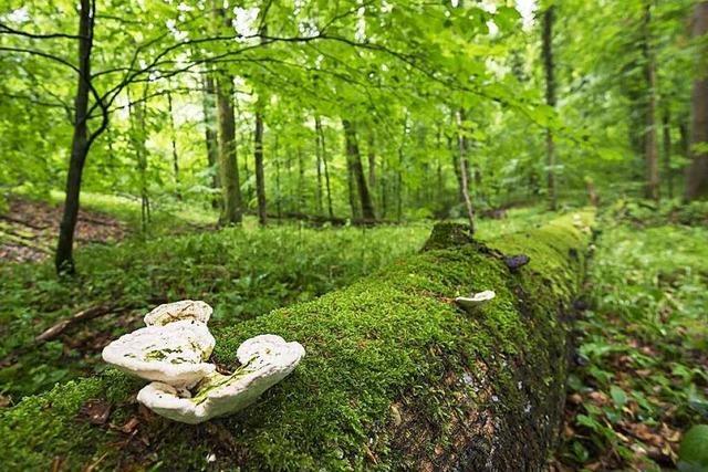 Im Stadtwald Emmendingen dürfen Bäume wachsen, wie sie wollen