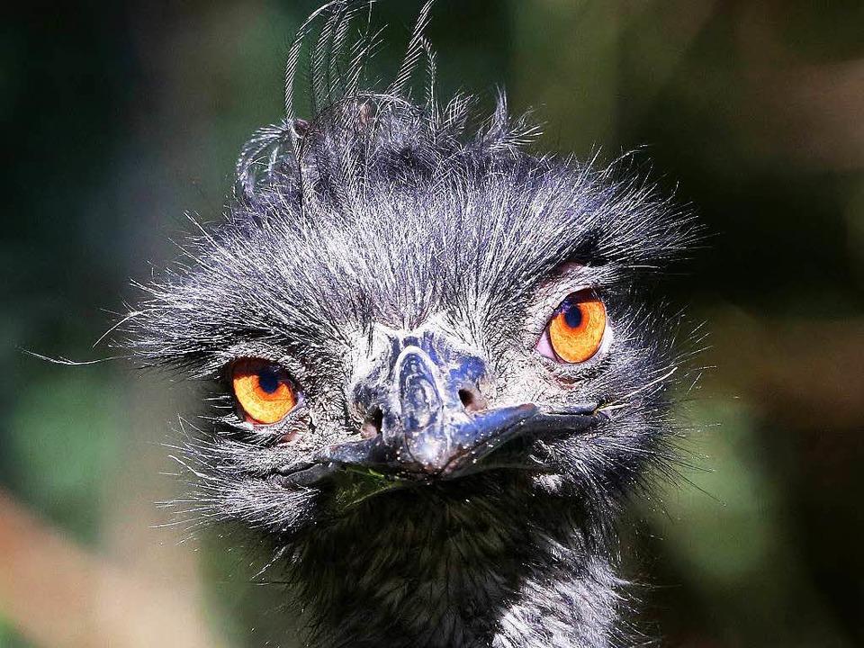 Der in Lörrach verschwundene Emu ist tot.  | Foto: dpa