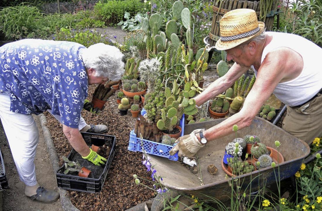 Sasbach. Erich und Margareta Beck beim Ausbringen der Kakteen.    Foto: Roland Vitt