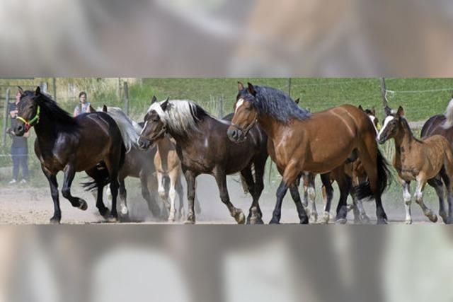 Ein Herz für die Schwarzwälder Pferde