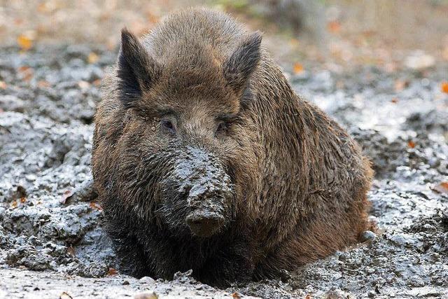 Wildschwein durchbricht Haustür und flüchtet