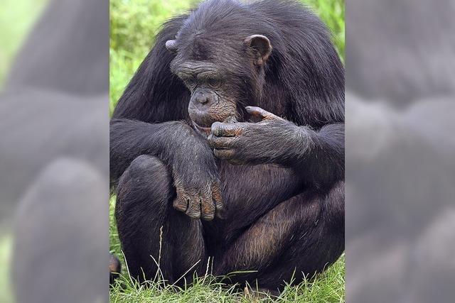 Haben Affen Persönlichkeitsrechte?