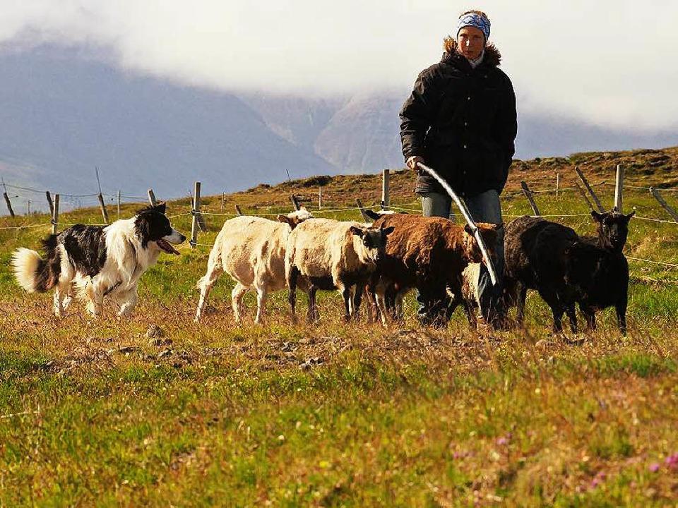 Schafe treiben ist kein Kinderspiel: C...rem  Hütehund Baugur am Skagafjörður.   | Foto: Karlheinz Schiedel