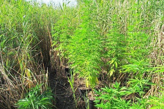 Hubschrauberstaffel der Polizei entdeckt Cannabispflanzen in Kappeler Schilffeld