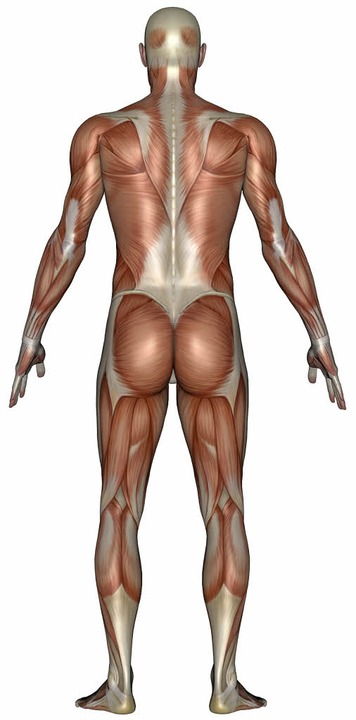 Muskeln und Faszien – die großen sind  weiß zu sehen.     | Foto: Colourbox