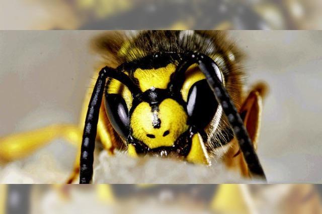 Warum hat es so viele Wespen?