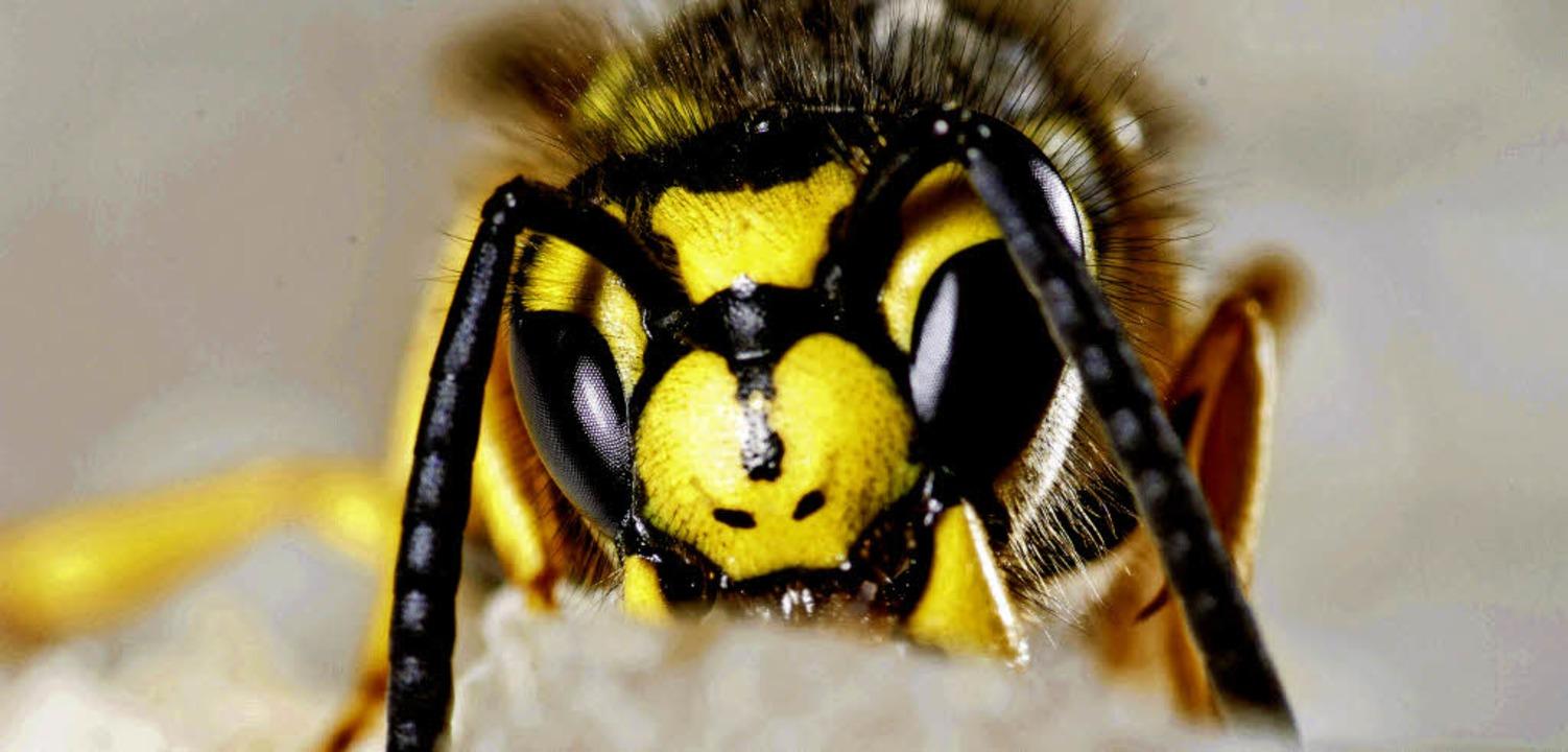 Macht vielen Menschen Angst: eine Wespe.   | Foto: dpa