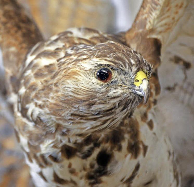 Auch Greifvögel gehören in die Sammlung.    Foto: Sina Gesell