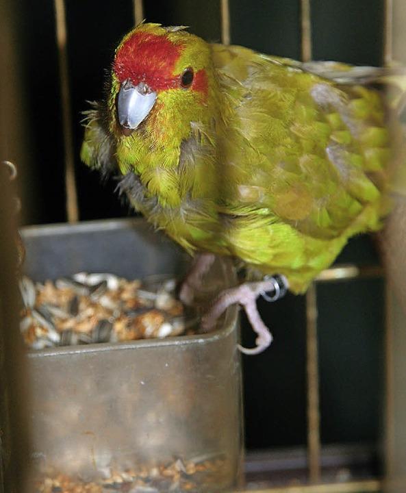 Dieser Ziegensittich, ein Mini-Papagei, sucht sein Zuhause.   | Foto: Jung