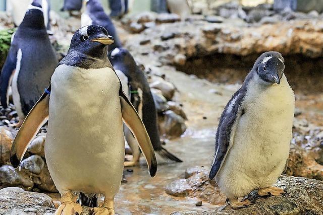 Drei kleine Pinguine watscheln jetzt durch den Zoo
