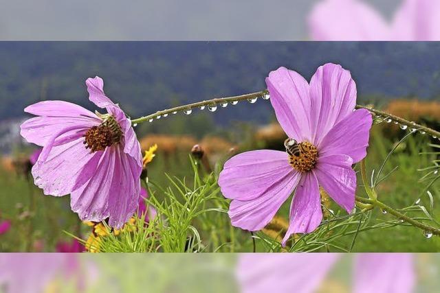 Blüten, Biene und Tropfen