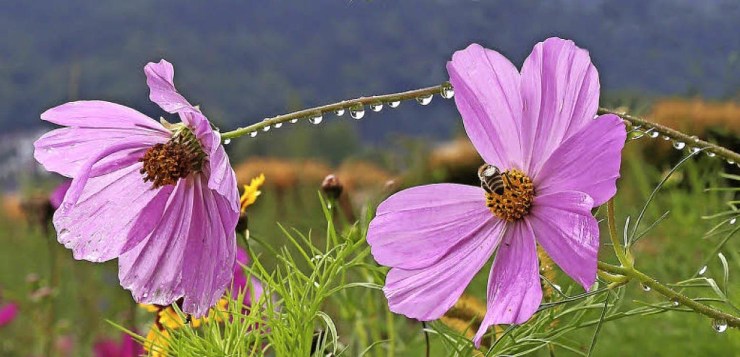 Blume, Blüte, Biene, Tau, Regentropfen, Schwarzwald  | Foto: Elisabeth Faber