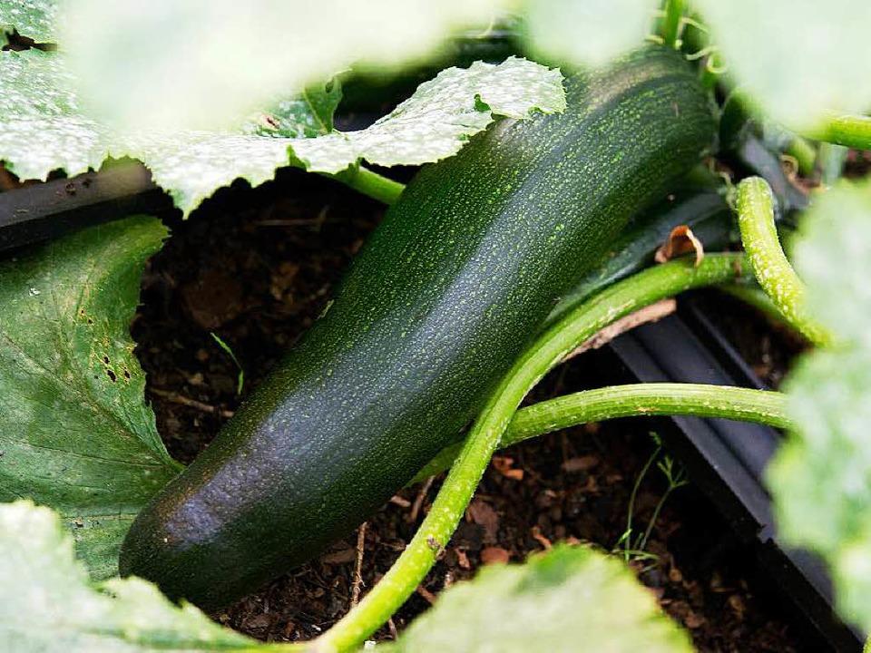 Ist die Zucchini ungefährlich?  | Foto: dpa